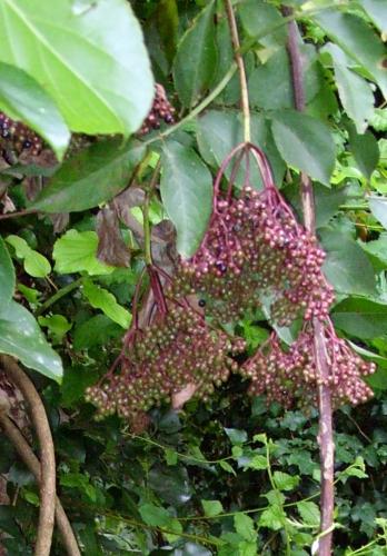 9 nigra corymbes verts  10 août 2008 001.jpg