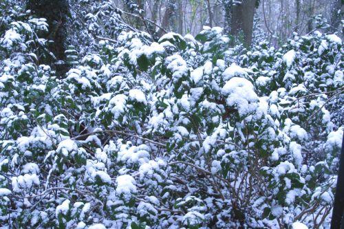 neige mahonia 17 dec 009.jpg