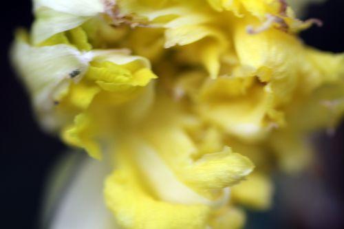 d narcissus double veneux 7 mars 2013 028.jpg