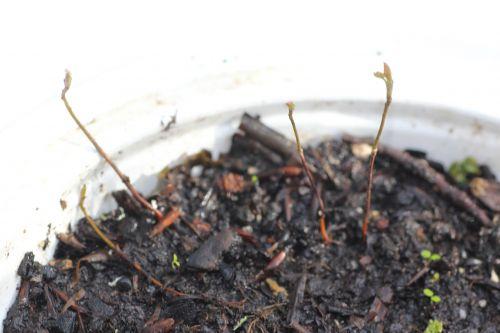 1 amelanchier alnifolia 9 mars 2013 026.jpg