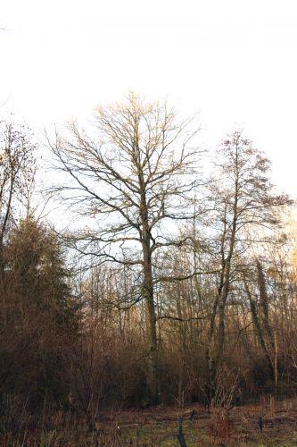 quercus 2 chênes romi 9 jan 022.jpg