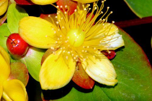 4 hypericum and fleur marnay 12 juin 2014 052 (3).jpg