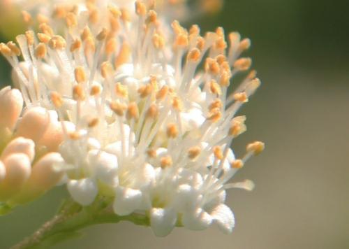 14 callicarpa dicho fleurs pr paris 3 sept 2011 040.jpg