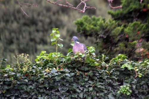 pigeon paris 4 déc 2011 084.jpg