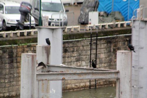 1 cormorans paris 12 janv 2013 012.jpg