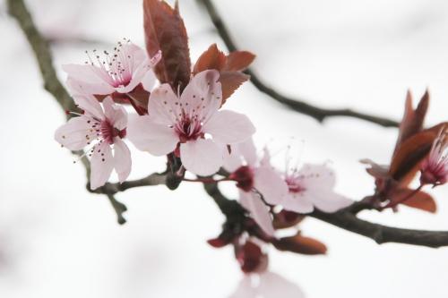 11 prunus pissardii veneux 26 fev 2016 002 (1).jpg