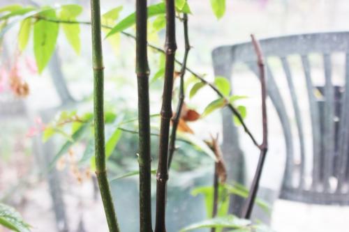 2 begonia maculata 20 mars 2017 IMG_2836 (11).jpg