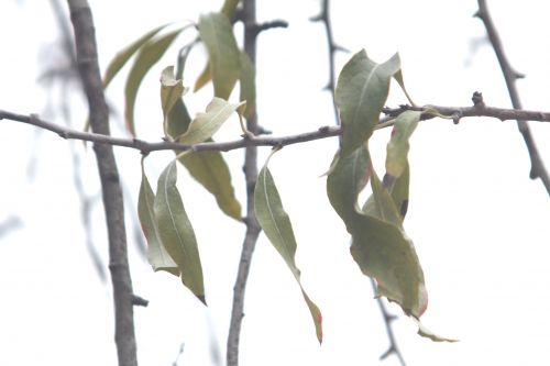 4 pyrus salicifolia paris 10 nov 2012 081 (4).jpg