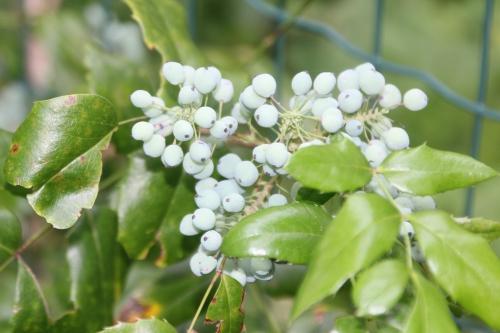 11 mahonia aquifolium veneux 14 juin 2017 021 (1).jpg