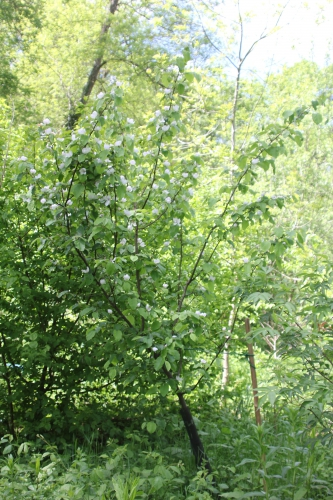 1 cydonia krymsk 1 romilly 7 mai 2015 024 (1).jpg
