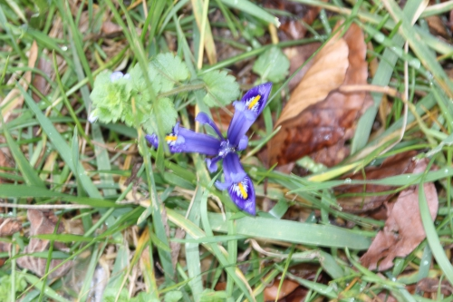 3 iris reticulata veneux 19 fev 2016 005 (1).jpg