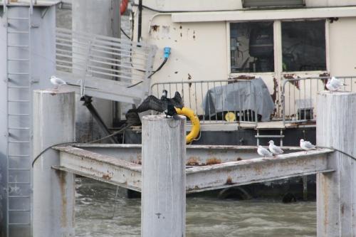 0 cormoran paris 31 janv 2015 204 (3).jpg