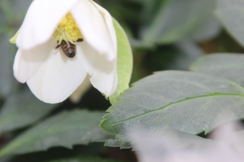 abeille hellébore veneux 1 fev 2017 001 (3).jpg