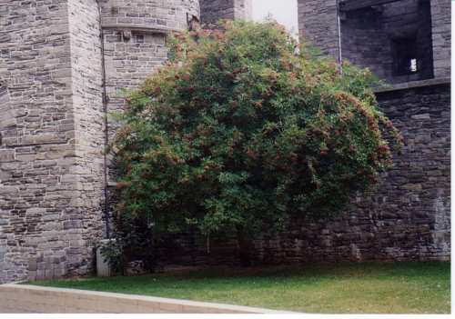 4 S. nigra au château de Gand 1997.jpg