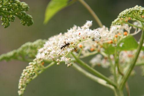 7 chinensis fourmi romi 9 août 085.jpg