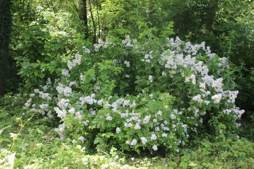 rosa multiflora romi 5 juin 2014 001.jpg