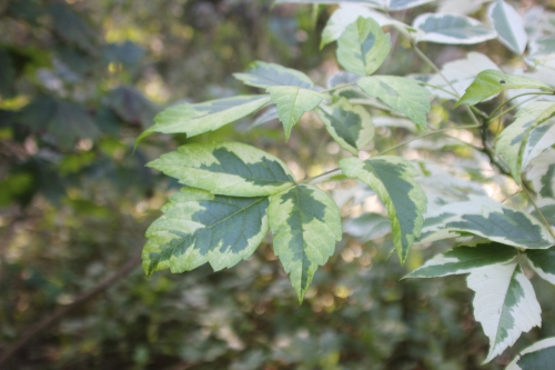 7 acer negundo variegatum romi 27 sept 2016 016 (5).jpg