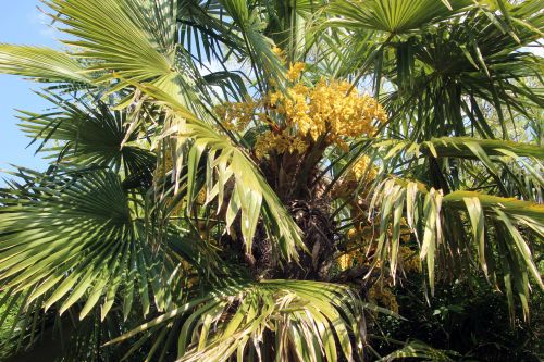 1 trachycarpus marnay 1 juin 2013 015.jpg