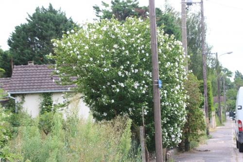 9 hibiscus syriacus moret 2 août 2016 035 (1).jpg