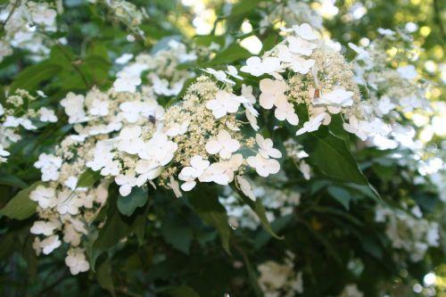 bretschn fleurs nb 29 mai 008.jpg