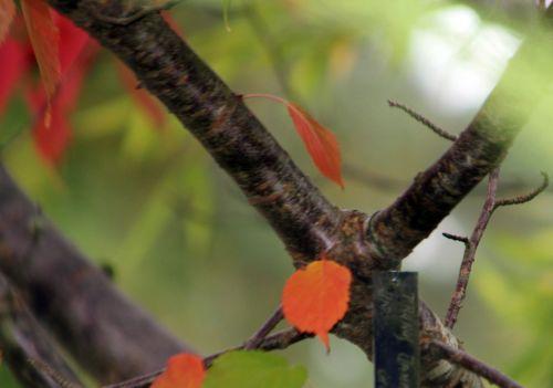 6 prunus jamasakura gb 6 oct 2012 047 (6).jpg