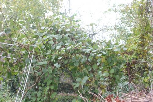 8 actinidia deliciosa veneux 12 nov 2017 006 (1).jpg