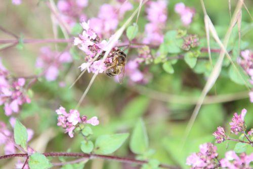 abeille origan 15 juil 2014 002.jpg