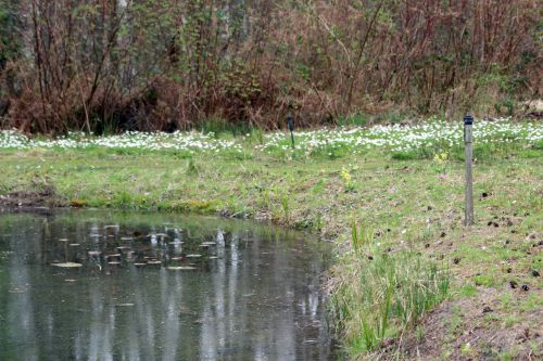 2 anemone nemorosa gb 30 mars 2014 179.jpg