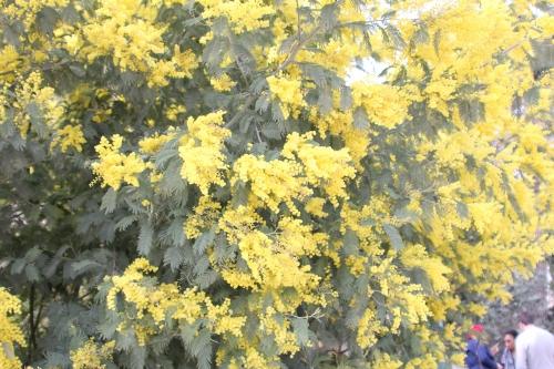 acacia decurrens paris 18 mars 2015 144 (5).jpg