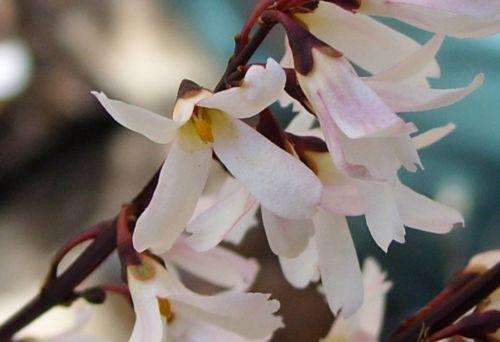 e abeliophyllum fl 11 fev 002.jpg