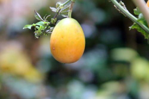 passiflora caerulea 1 veneux 11 nov 2012 013.jpg