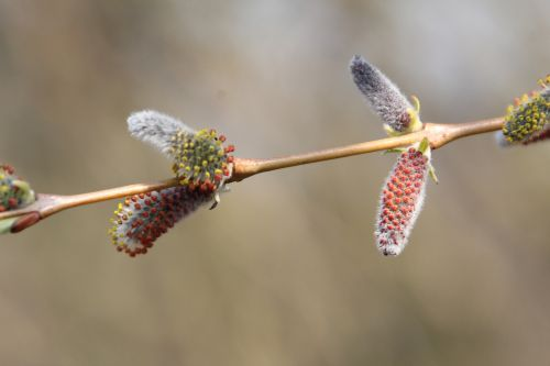 4 salix purpurea 3 avril 2013 014.jpg