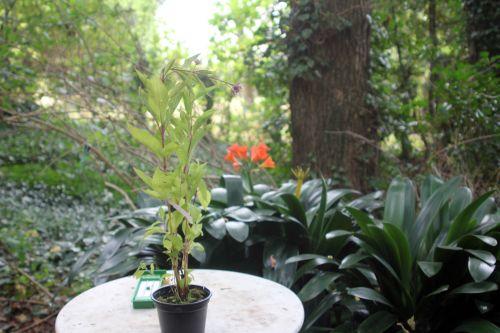 z eupatorium maculatum 25 août 2012 002.jpg