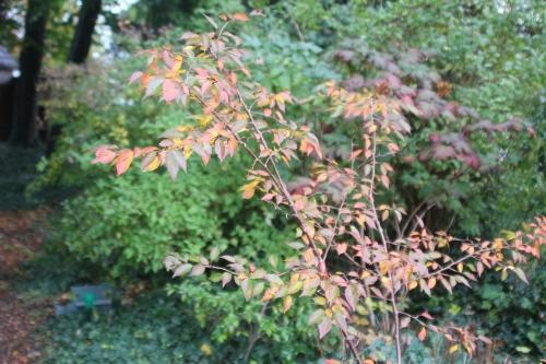 prunus subhirtella autumnalis veneux 24 oct 2017 015.jpg
