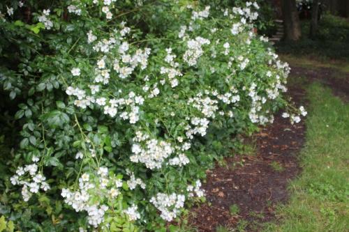 6 rosa mulliganii 20 juin 2016 002.jpg