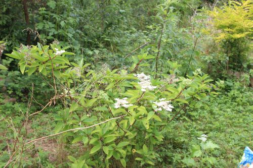 hydrangea romi 1 juil 2014 002.jpg