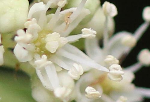 11 bretsch fleur 10 mai 2011 013.jpg