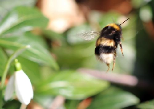 viburnum tinus 26 fev 2012 029.jpg