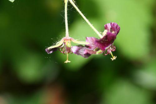 geranium phaeum 24 avril 005.jpg