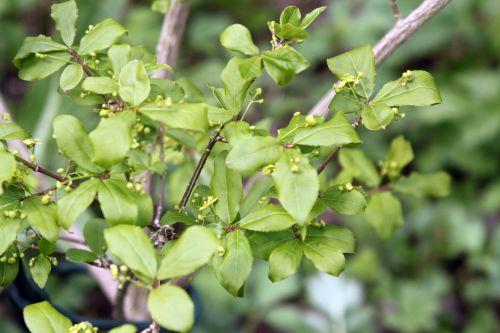 3 euonymus alatus romi 20 avril 2012 008.jpg