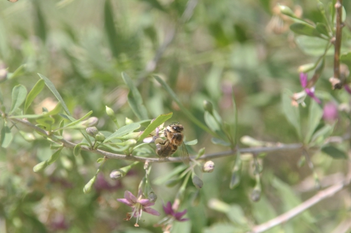 5 lycium chinense marnay 26 juil 2017 006 (4).jpg