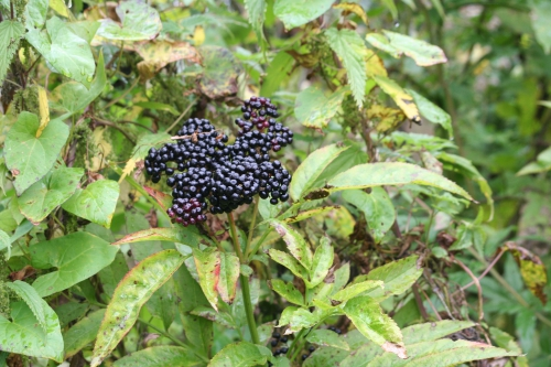 9 ebulus fruits 1 oct 035.jpg