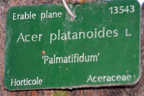 acer platanoides étiq paris 16 jan 066.jpg