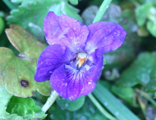 violette odorata lorrez 27 mars 021.jpg
