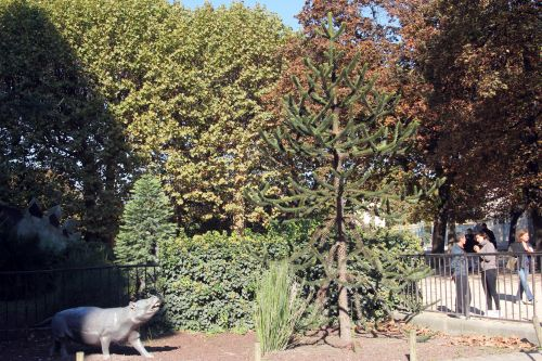 1 araucaria paris 23 oct 2011 002.jpg
