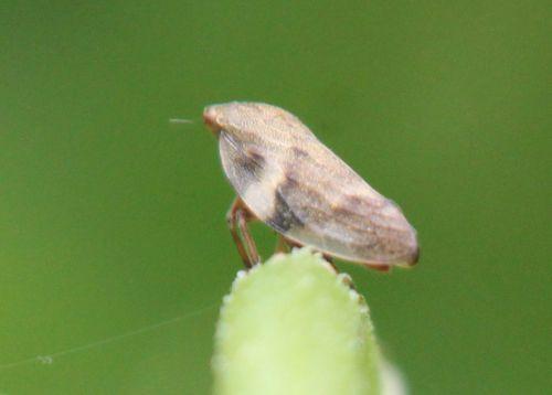 cicadelle rec  romi 4 juin 2012 105 (2).jpg