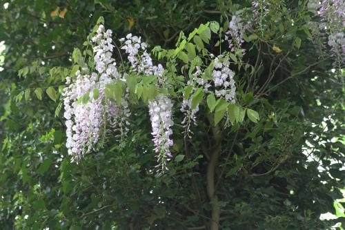 6 wisteria 2 mai 2015 018.jpg