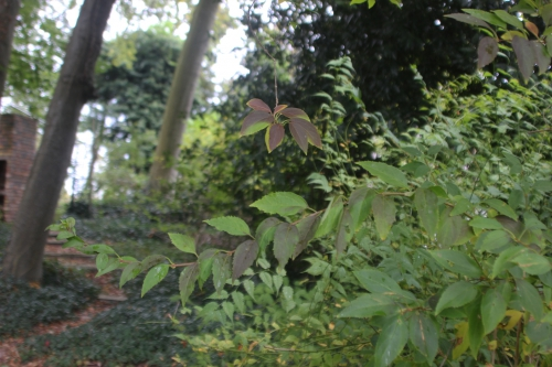 7 forsythia suspensa veneux 17 oct 2016 006 (1).jpg