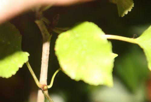 arborescens radiata 2 nov 2012 002.jpg