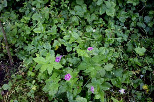 1 geranium nodosum romi 31 mai 2014 049.jpg